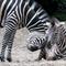Zebra kicsinyével