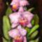 Orchidea 09 Cattleya gaskelliana, silk, 40x30 cm