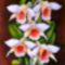 Orchidea 19 Dendrobium, selyem, 40x30 cm