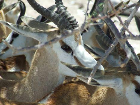 Afrikai antilop 1