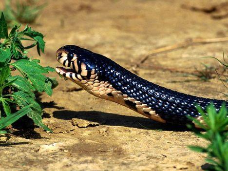 kígyók 15