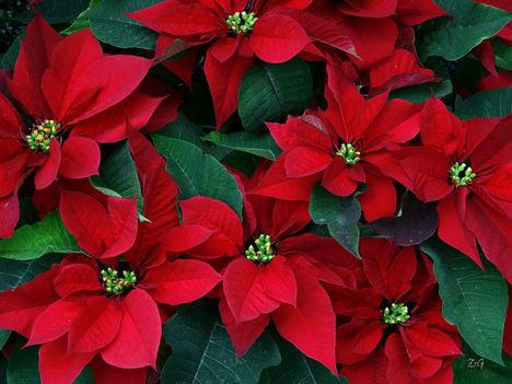 Kárácsonyi dekoráció a mikulás virág