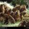 Gelada Gang Grooming, Ethiopia, 2001