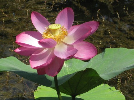 Lótusz virága