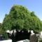 """A """"falusi"""" temető egyik árnyat adó fája"""