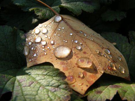 Falevél esőcseppekkel