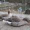 kacsapár