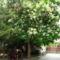 foto 006 Egy virágzó fa!