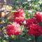 rosza