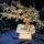 Viragzo_bonsai_2_529568_59650_t