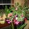 karácsonyi kaktuszom 11
