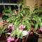 karácsonyi kaktuszom 13