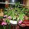 karácsonyi kaktuszom 14