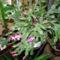 karácsonyi kaktuszom 4