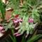 karácsonyi kaktuszom 6