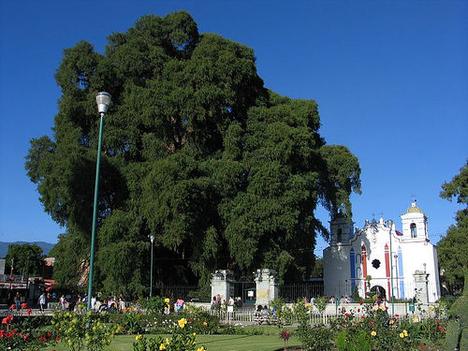 tule-tree