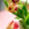 Kétszínű tulipánok