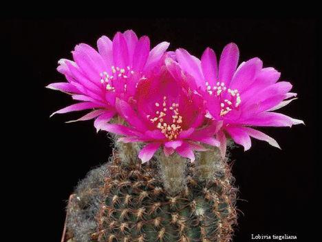 Virágzó kaktuszok 10