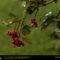 Jasper Cranberries, Canada