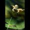 Jumping Frog, 1975