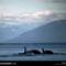 Killer Whales, Glacier Bay, Alaska, 1977