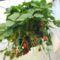 Szamóca függesztve - ültetőkosár