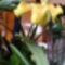 Paphiopedilum  orchidea 1