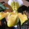 Paphiopedilum  orchidea 2