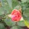 rózsabimbó2
