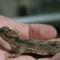 hornet lizard