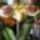 Paphiopediilum Orchidea