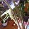 Alocasia virágzik