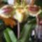 Paphiopedilum Orchidea