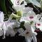 Dendrabium Orchidea teljes ponpával