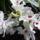 Dendrobium Orchidea teljes pompával