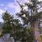 methuselah-grove