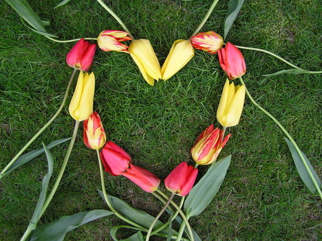 szív tulipán