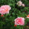 Angol rózsa