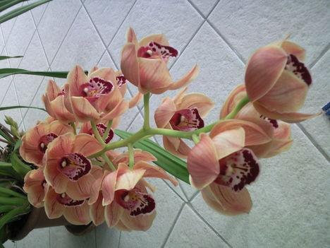 Csónak orchidea