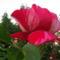 Habsburg rózsa