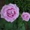 Karnevál rózsa