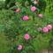 Rózsa ,  az az igazi régi fajta