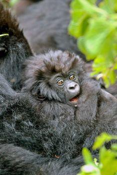 baby majom
