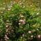 Futórózsa    apró virágú