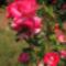 Lúzia Nisler rózsa