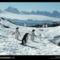Cormorant Island Penguins, Antarctica, 1988