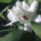 Dendrobium Orchidea /közelről/ Megint virágzik