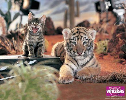 Whiskas tigris és cica