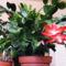 Karácsonyi kaktusz / távolról/