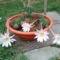 tengerisün-kaktusz